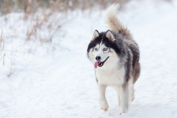 Husky in the winter forest