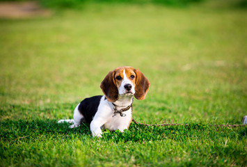 Cute beagle puppy on green grass in the park