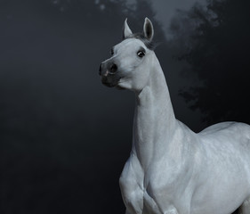 Fototapete - Graceful statuary Arabian stallion in twilight forest.