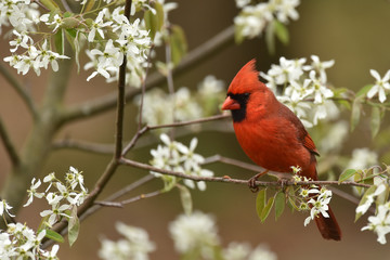 Red Male Cardinal in spring flowers