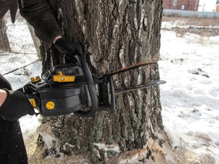 Male hands in black gloves hold a chainsaw that made two cuts on a thick wood trunk in winter in the countryside. Illustrative photo, which demonstrates the technology of cutting down thick trees