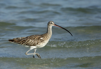 Curlew moving in high tide at Busaiteen coast, Bahrain