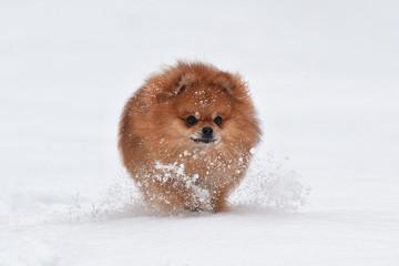 Wall Mural - Pomeranian spitz in winter day