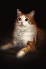 Portrait of a cat of golden color