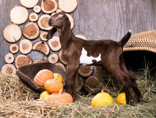 Nubian goat child