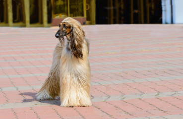 Afghan Hound white looks aside. Afghan Hound white is in the park.