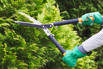 Gardener is trimming a hedge. Cutting the hedge with garden shears.