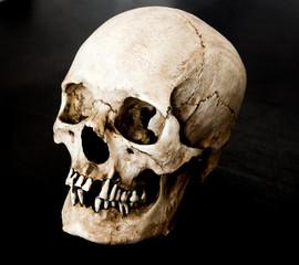 Fiberglass human skull facing 45 degrees left with a black background