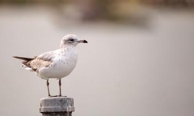 Laughing Gull bird Leucophaeus atricilla
