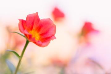 Portulaca Beautiful Flowers in soft warm light. Vintage autumn landscape blurry nature background.