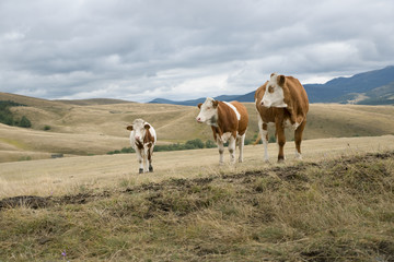 Fototapete - Cows  on the meadow