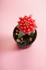 cactus with red and green color