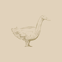 Illustration drawing style of duck