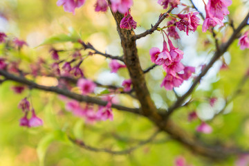 Prunus cerasoides blossoms or Thai cherry blossoms are in full bloom in winter in the North side of  Thailand.