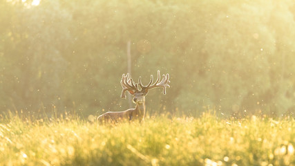 Deer Stag Animal