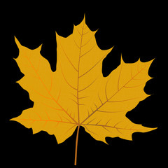 Yellow autumn leaf isolated on black background