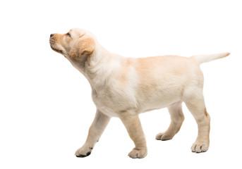 puppy labrador isolated