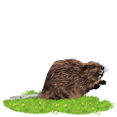 beaver sketch vector graphics color picture
