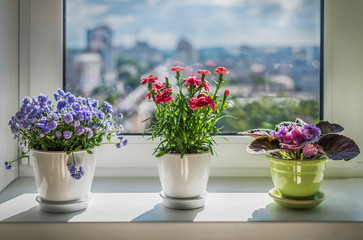 House plants on window. Carnation,  blue flower and violet.