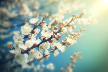 Abstract blurred background of spring white blossoms tree, selective focus.