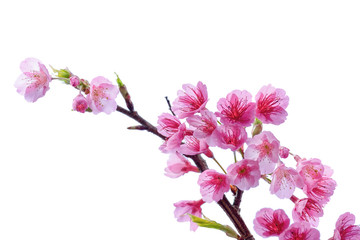 Blooming pink cherry blossoms flower in spring season isolated on white background