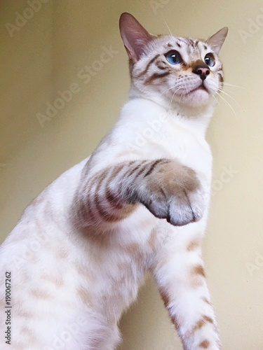 Gatto Bianco Bengala Prepotente Stock Photo And Royalty Free Images