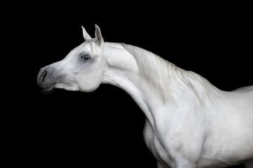 Gray arabian horse isolated on black background