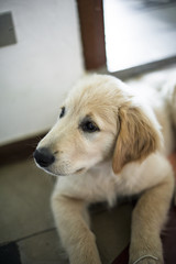 portrait of golden retriever puppy in his home