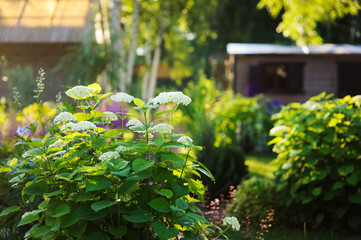 summer garden view in june with hydrangea Annabelle bush blooming in sunny day