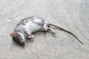 rat was crushed remains of the dead.