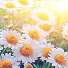 Wall Mural - daisies in the sunlight
