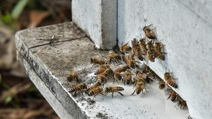 bees flying back in hive after a harvest period