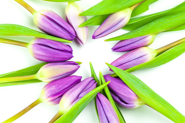 Purple tulip flowers on white background, top view, spring concept