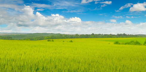 Wheat field and blue sky with clouds. Wide photo.