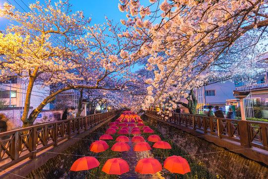 Spring Cherry blossom festival at Yeojwacheon Stream at night, Jinhae, South Korea