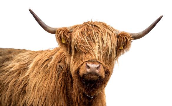 Scottish highland cattle on a white background