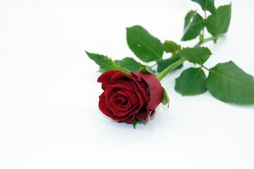Rote Rose freigestellt auf weißem Hintergrund