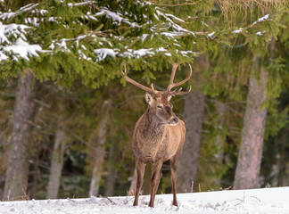 Photo sur Toile Chasse Color outdoor wildlife winter animal portrait of a single red deer / elk with large antlers standing on a snow field in front of a forest on a bright sunny day