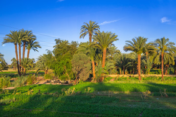 Date palm trees plantation in Egypt