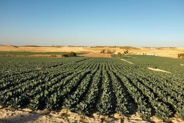 Champs de brocolis. Espagne