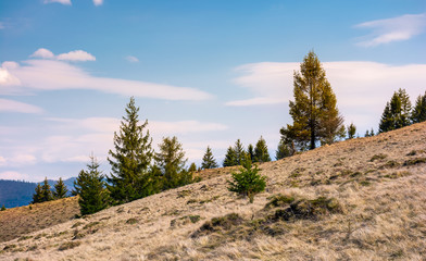 spruce forest on a slope with weathered grass