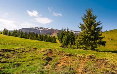 coniferous forest on the grassy slopes