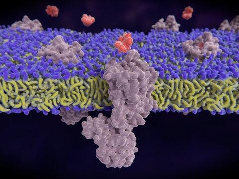 µ1-Opioid-Rezeptoren binden Morphin-Moleküle. Die Effekte des µ1-Rezeptors sind Analgesie  Hypothermie, Euphorie und Miosis.