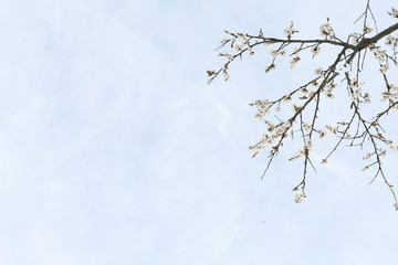 Tender apricot blossom buds and flowers in the spring