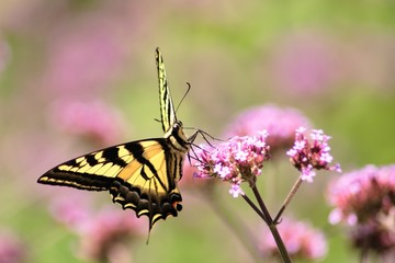 Oregon SwallowTail in the Summer