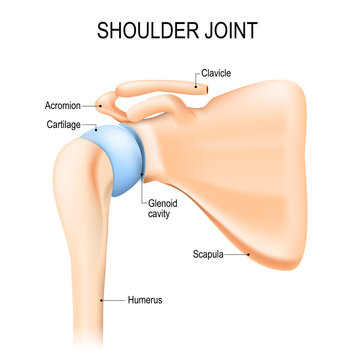 Shoulder (glenohumeral) joint. Human anatomy