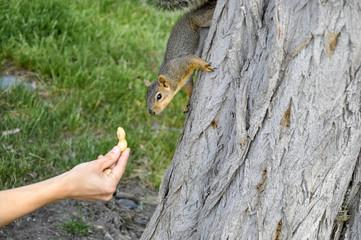 Woman hand feeding peanuts to fox squirrel in tree