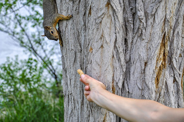 Woman hand feeding peanuts to fox squirrel in tree