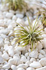Tillandsia air plants on white pebbles in desert zen setting