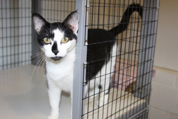 Beautiful Tuxedo Cat looks out of his animal shelter cage with hope, as he hopes for a new forever home.